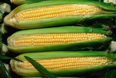 corn_growing
